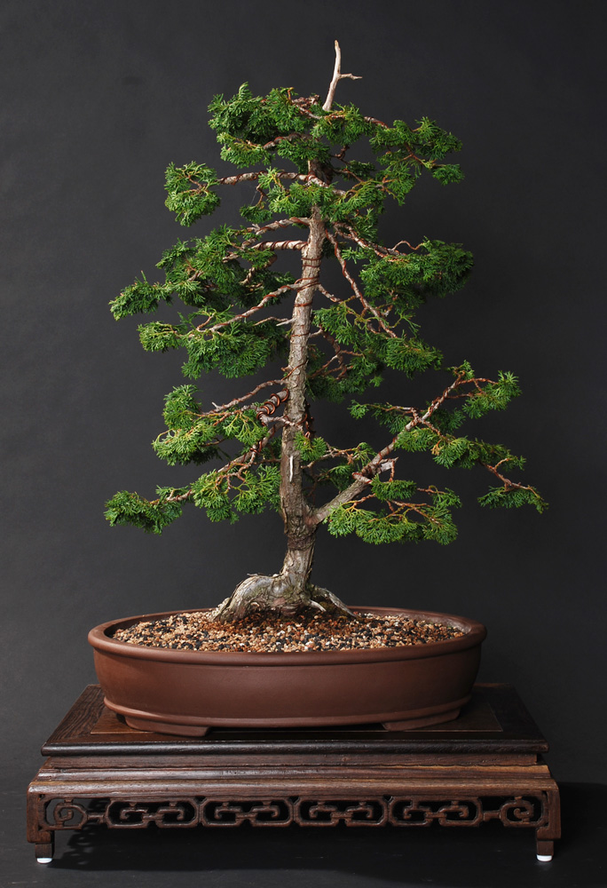 San jose betsuin bonsai club gallery for Bonsai italia